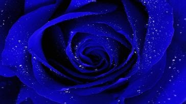 a stock image of a blue rose