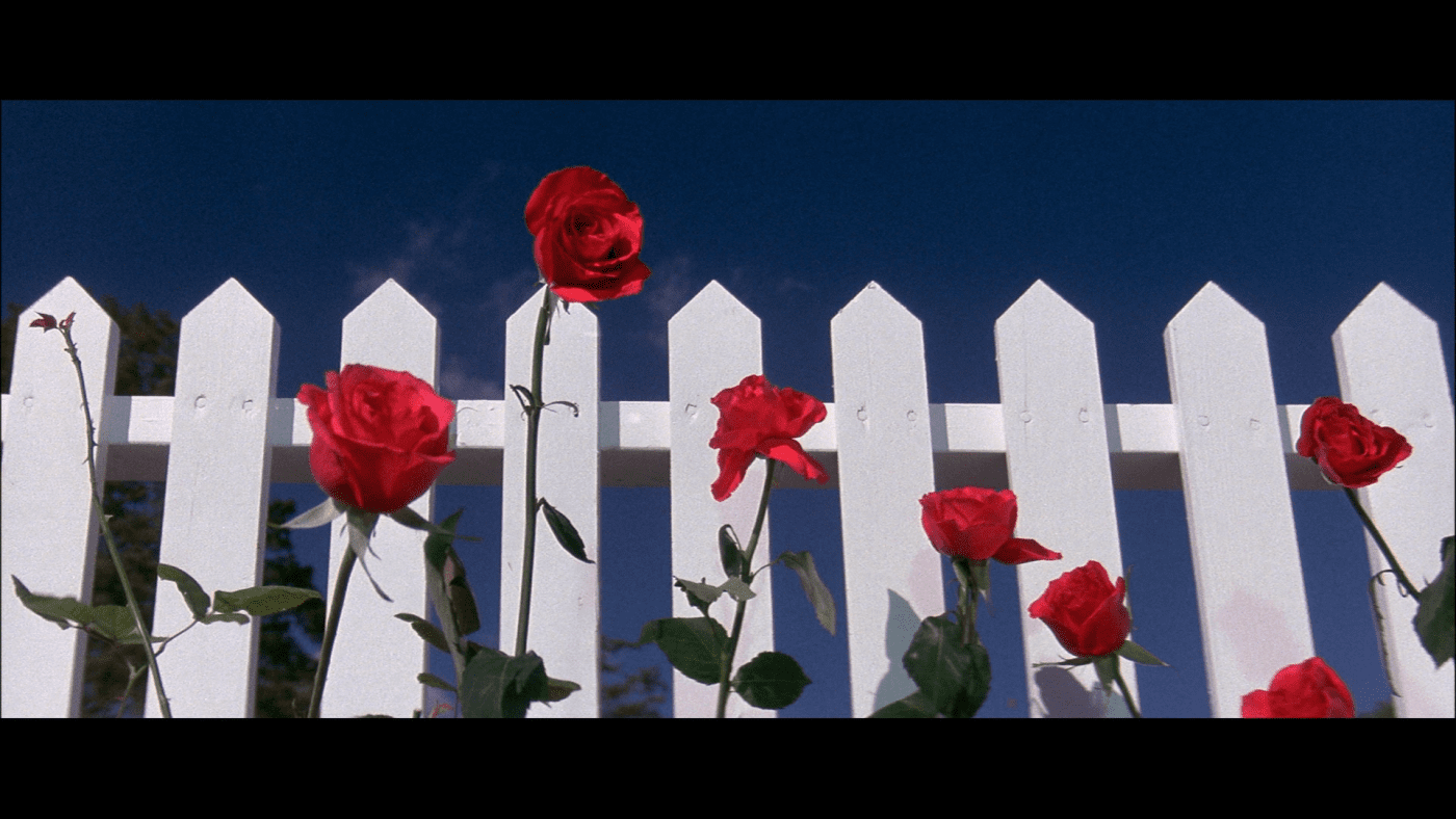 red roses against a white picket fence and a blue sky in Blue Velvet