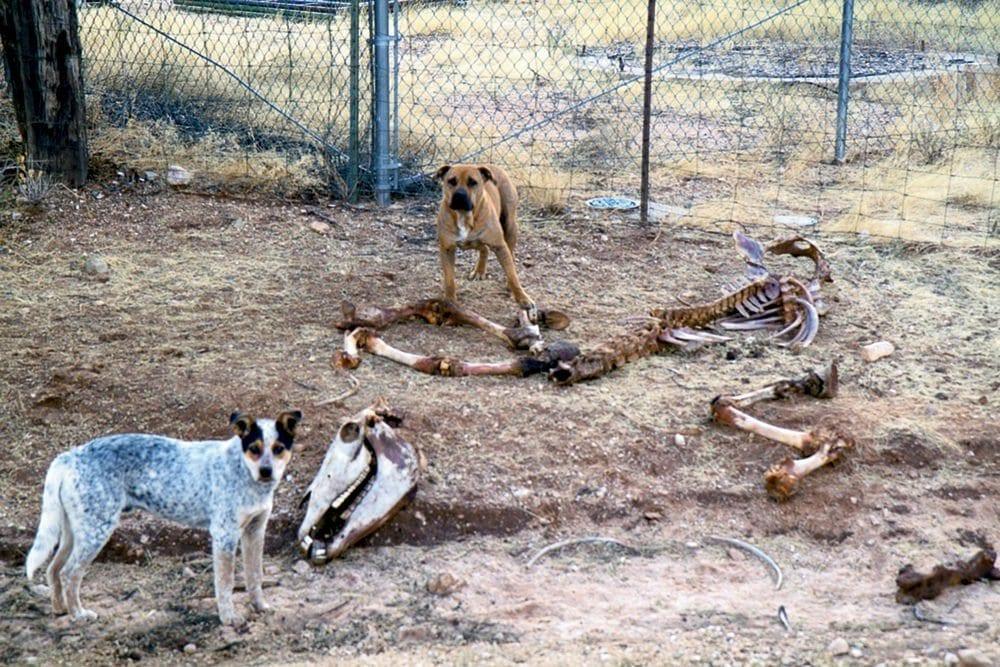 wild dogs around the bones of cattle