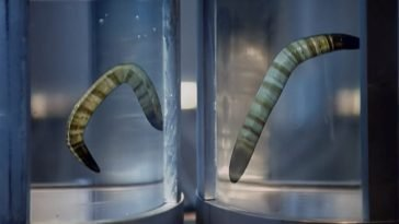 Two giant worms floating in separate jars