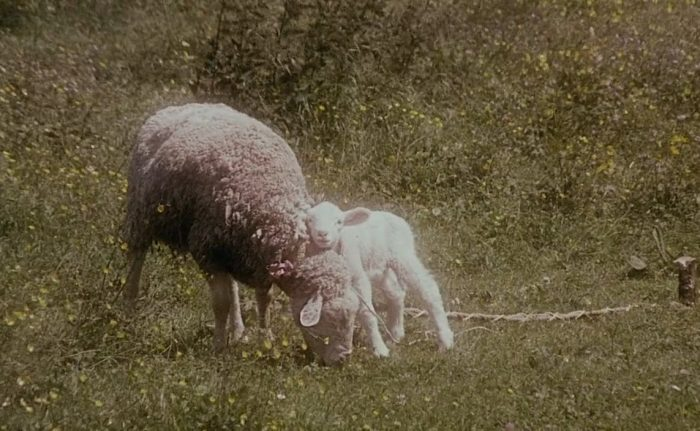 A lamb with it's mother