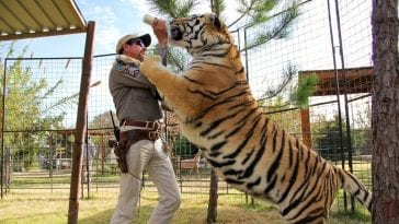 Joe Exotic grappling with a tiger