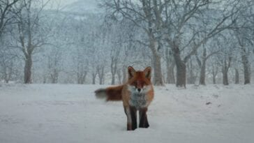 a red fox staring at you in the snow