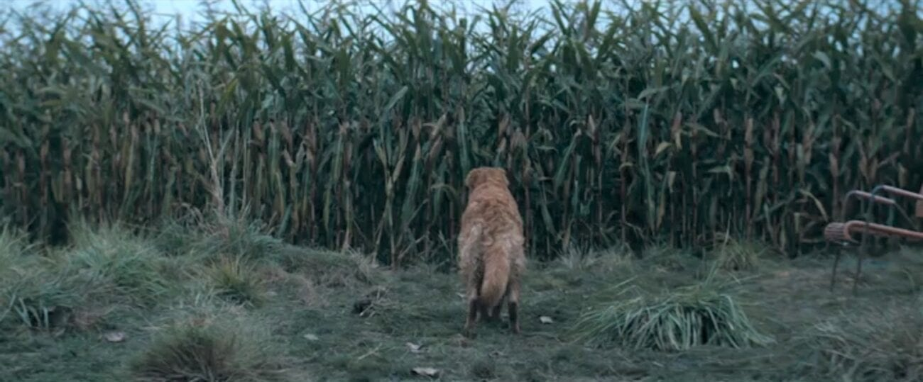 The Stand S1E9 - Kojak stands before a wall of corn, his tail down